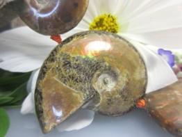 Opalisierende versteinerte Muscheln/Ammonite als ganzer Strang