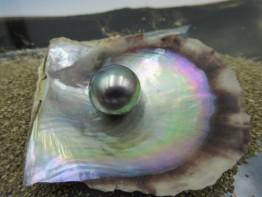 Tahitiperle spiegelnd 13,2x14,0mm Modell 174